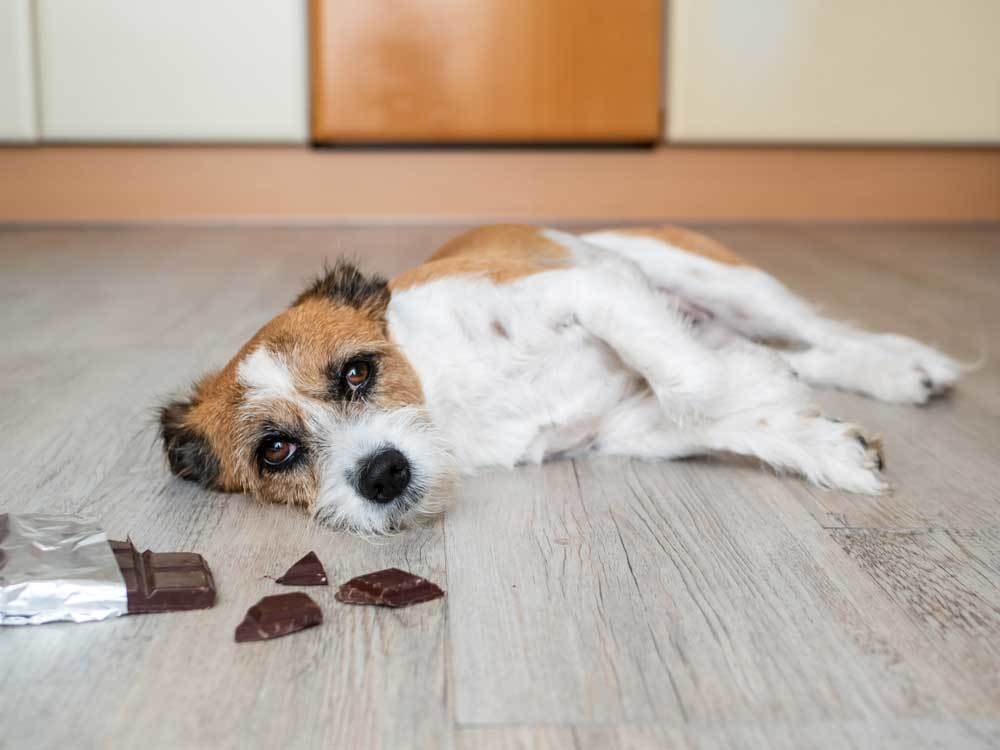 Jack Russell Terrier laying on foor next to half eaten chocolate