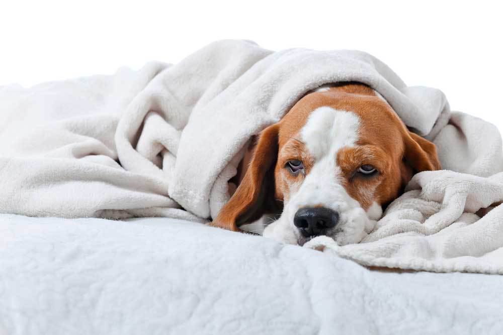 hound dog wrapped in blanket laying on bed.