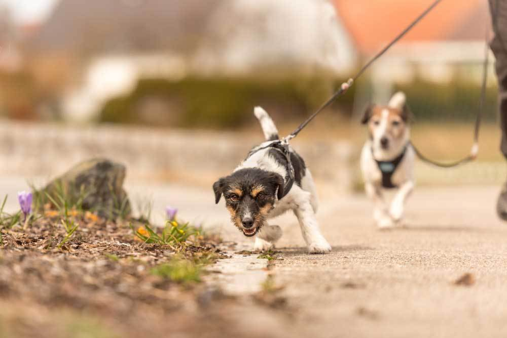Jack Russell Terrier pulling against lead walking on a street