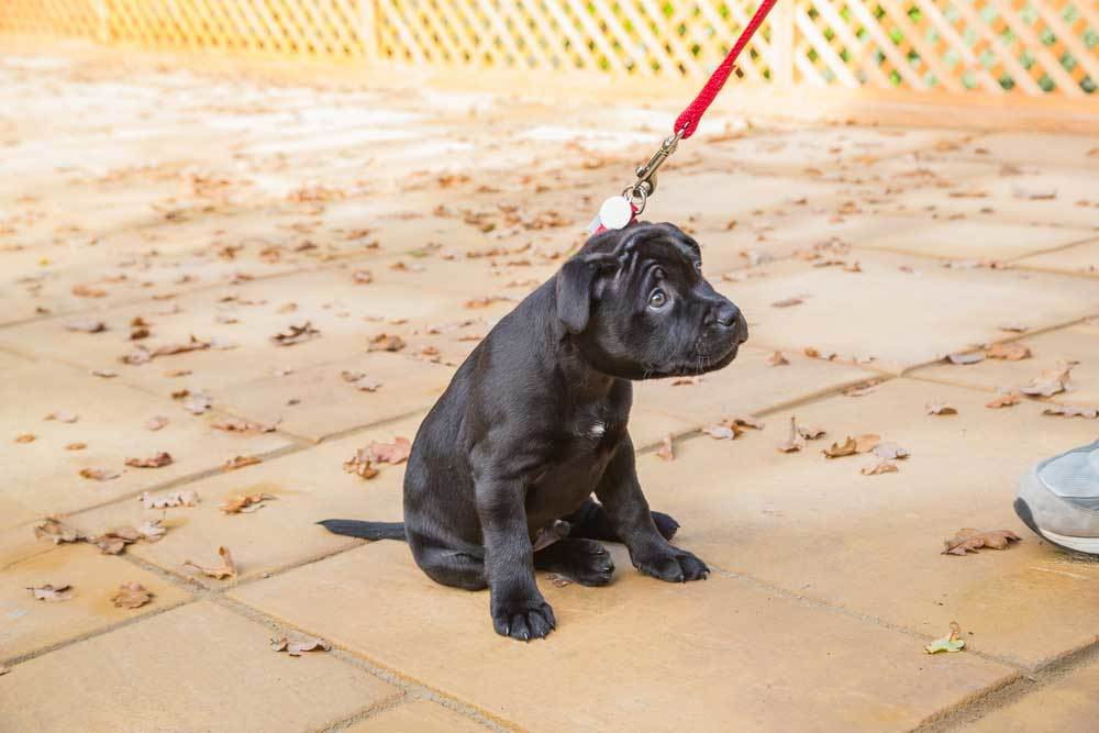 Black Labrador Puppy on a red leash refusing to walk
