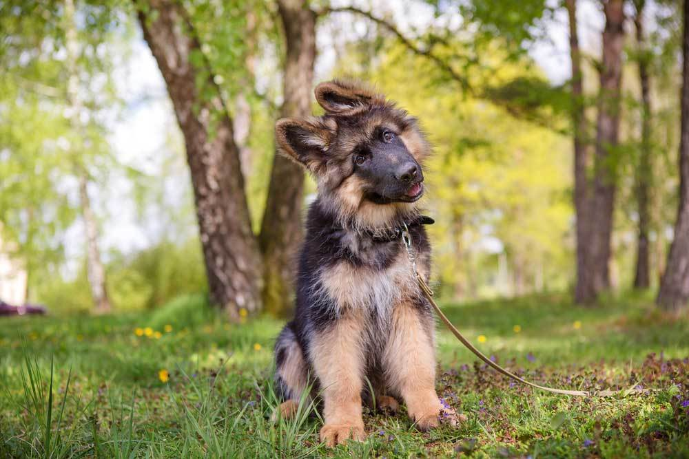 German Shepherd puppy on a leash in nature with head tilted