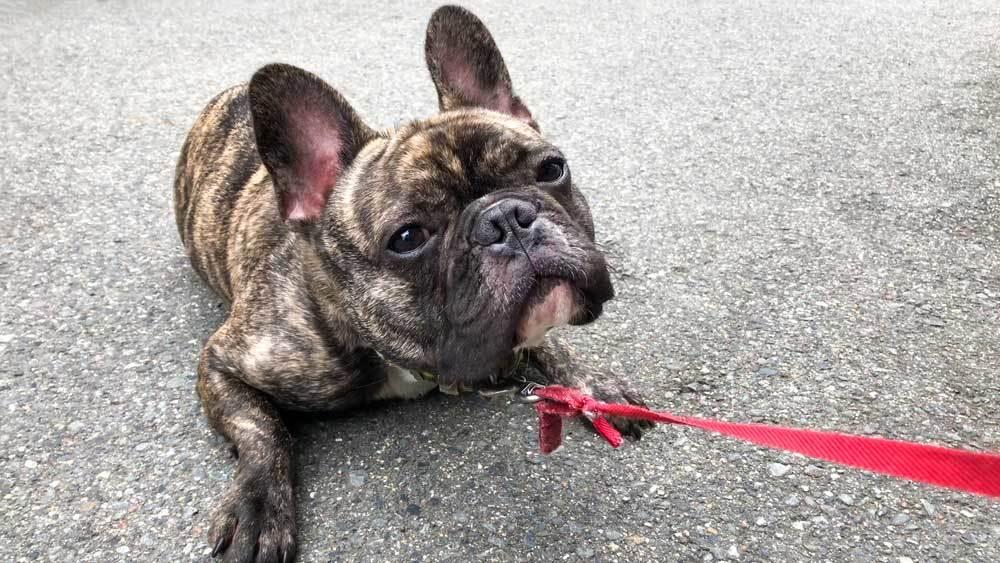 French bulldog on red leash laying on asphalt refusing to walk.