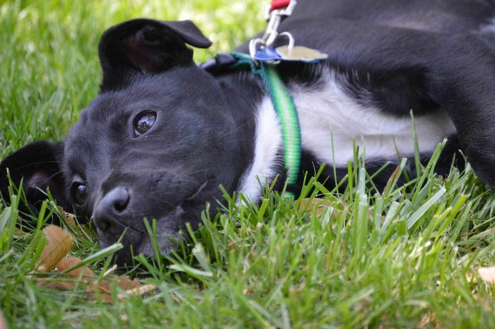 Black and white puppy laying in grass refusing to move