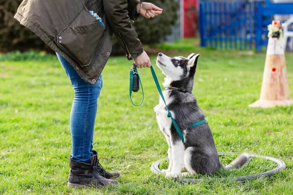 Husky puppy on a leash being trained