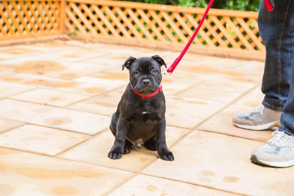 Black labrador puppy with red leash and collar sitting on tiled patio