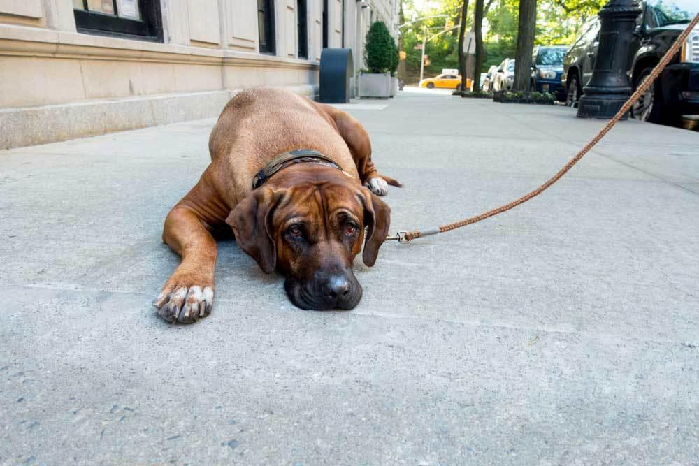 Large brown dog laying on leash laying down on sidewalk