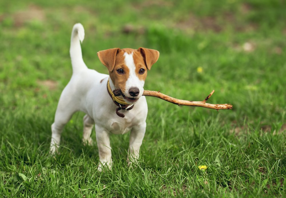 Jack Russell Terrier puppy with stick in mouth standing in grass