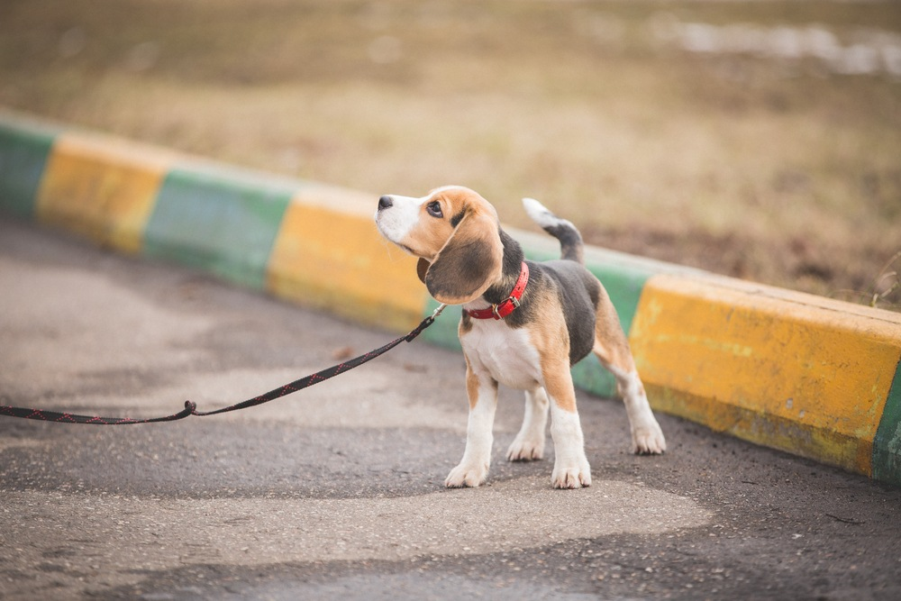 Beagle puppy on a leash standing next to a yellow and green striped curb.