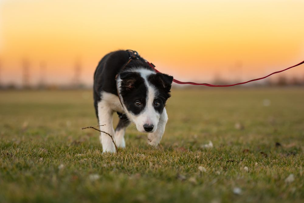 Black and white cattle dog puppy exploring a grass covered field