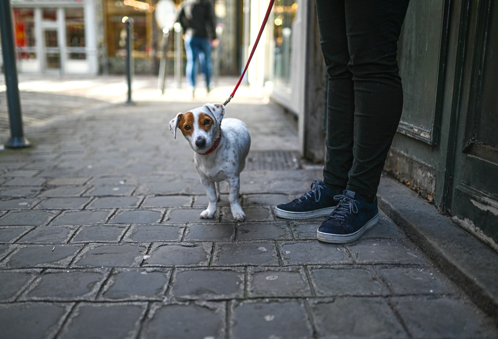 Jack Russell Terrier on a leash on a brick sidewalk with owner