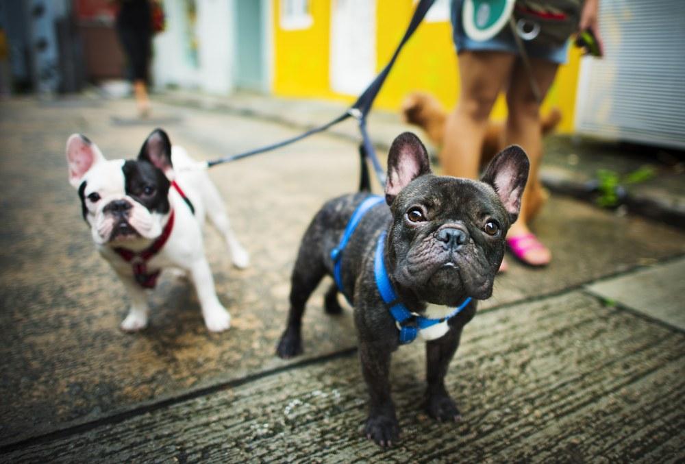 2 french bulldogs on a leash taking a walk