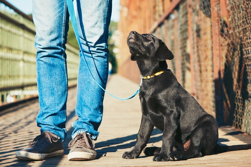 Black Lab puppy on leash at humans feet outdoors