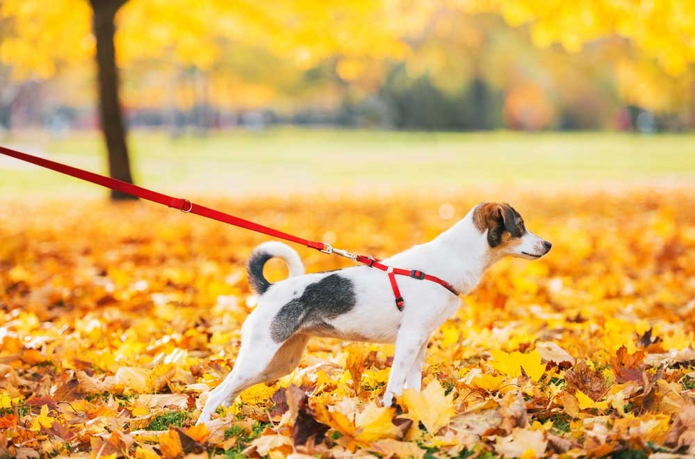 Jack Russell Terrier on leash in fall leaves outdoors