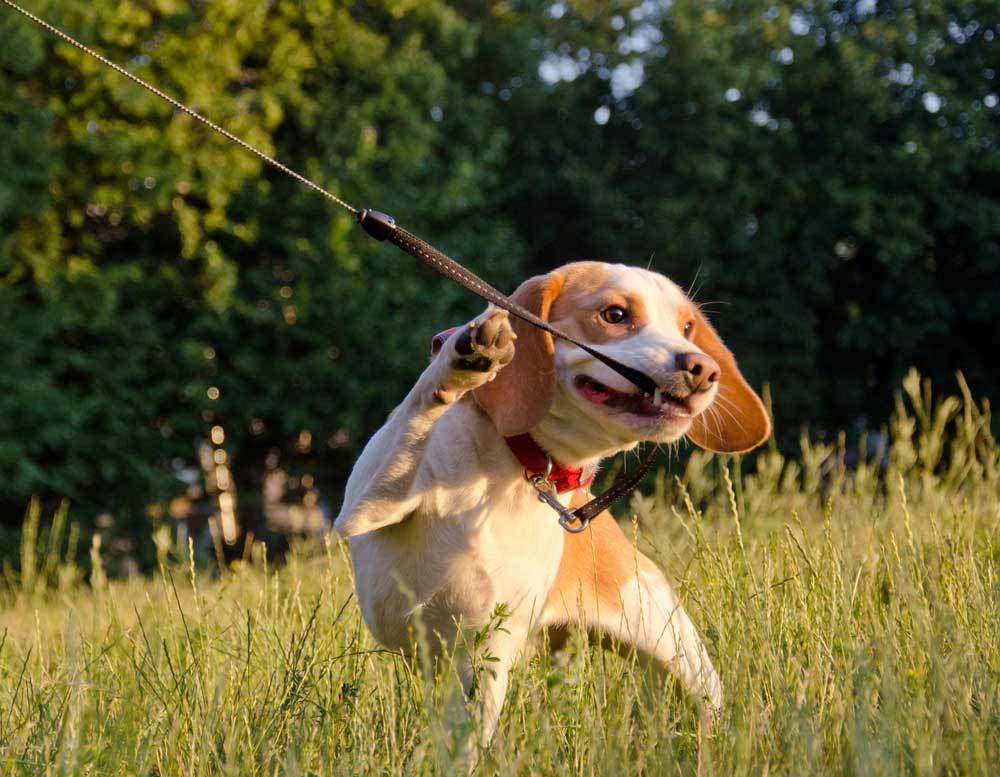 Beagle biting and pulling against leash in grass field