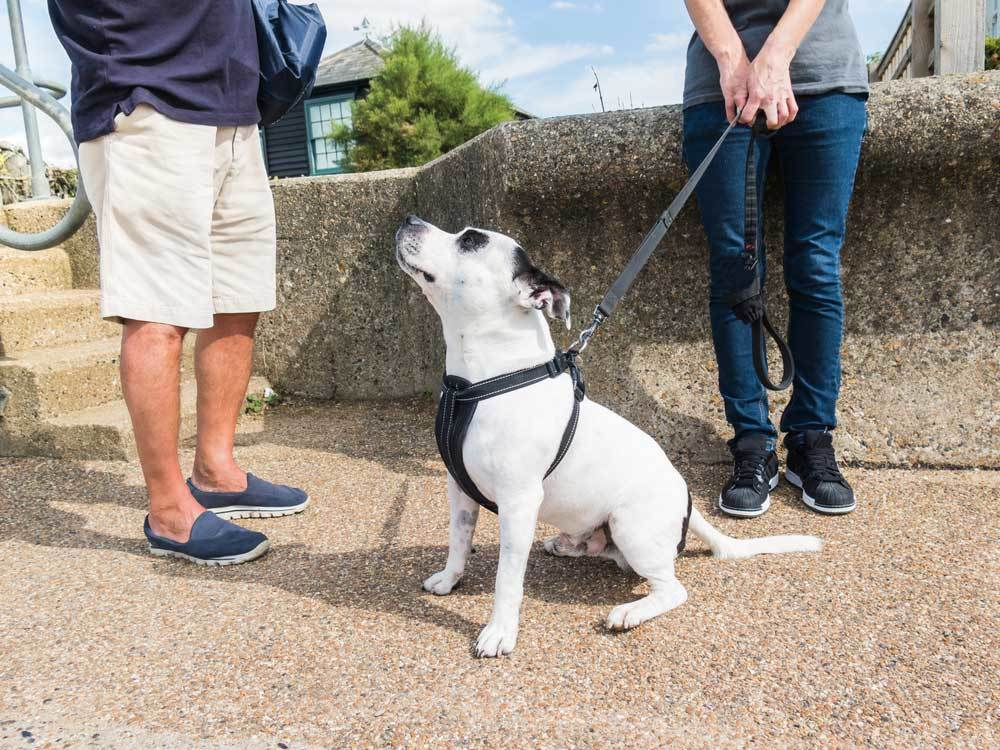 White and black dog on short lead sitting at owners feet while owner talks to friend.