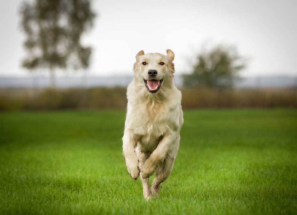 Excited tan dog jumping in grass