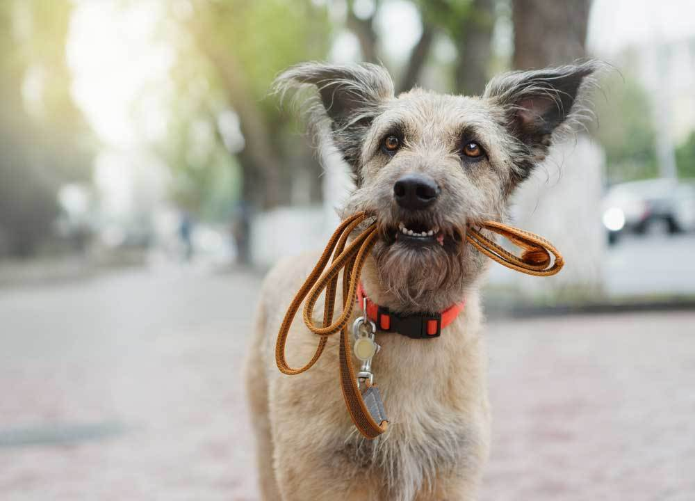 Scruffy dog holding leash in mouth