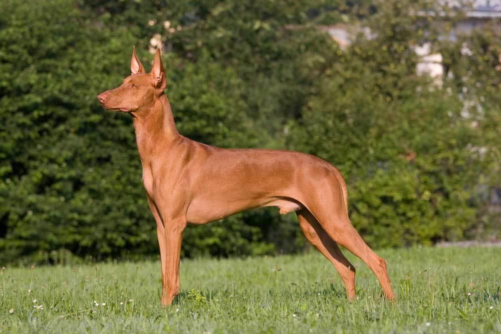 Pharaoh Hound standing in grass