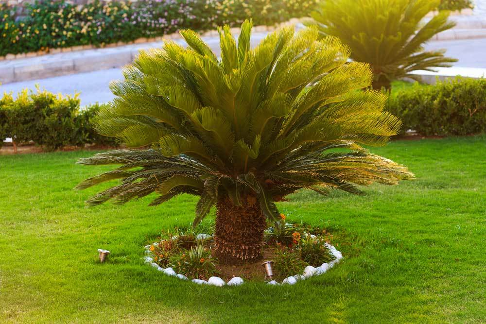 Sago Palm planted in well tended yard