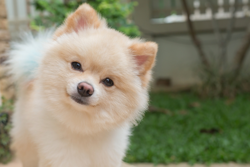 Pomsky with head tilted looking at camera in nature setting