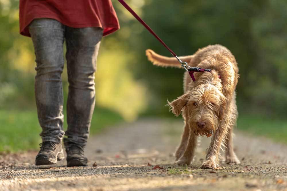 Shaggy dog pulling against leash on a dirt trail