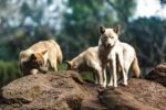 3 dingo dogs standing on a rocky outcrop.