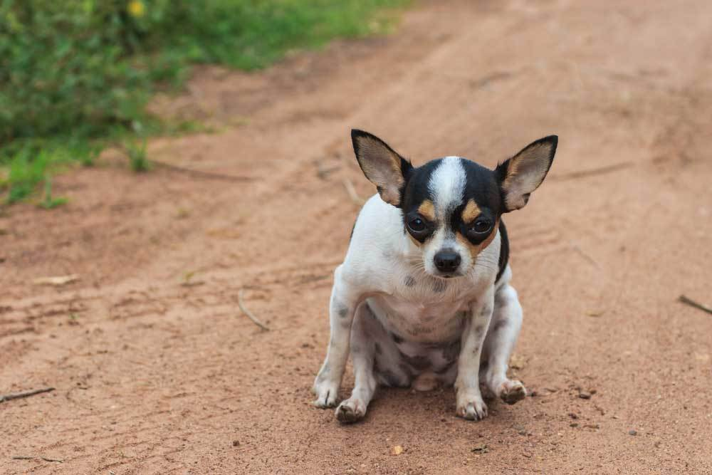 chihuahua scooting butt on dirt road