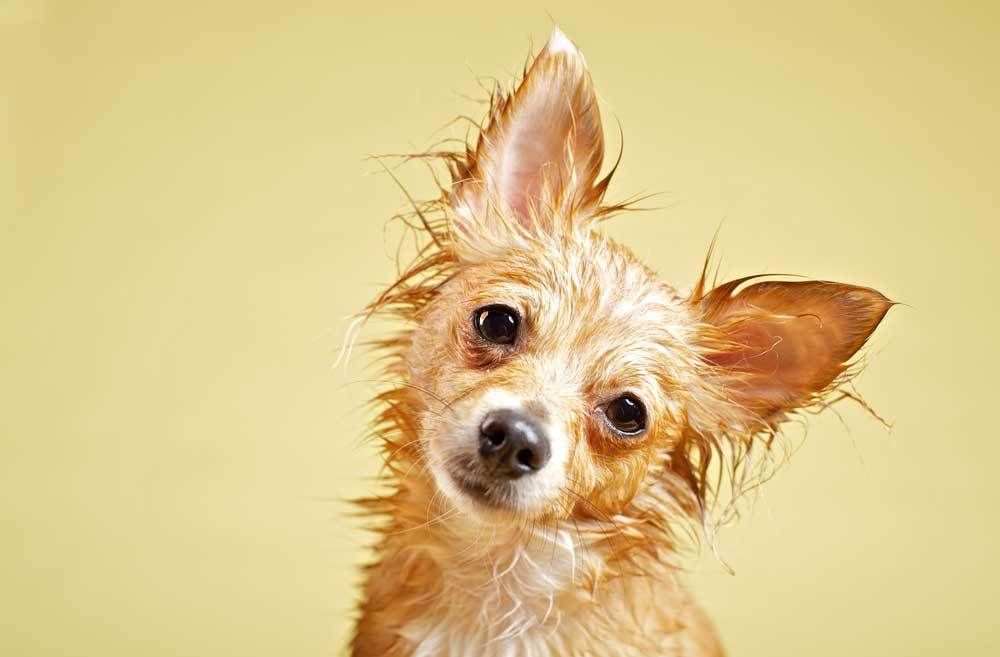 wet chihuahua on a yellow background