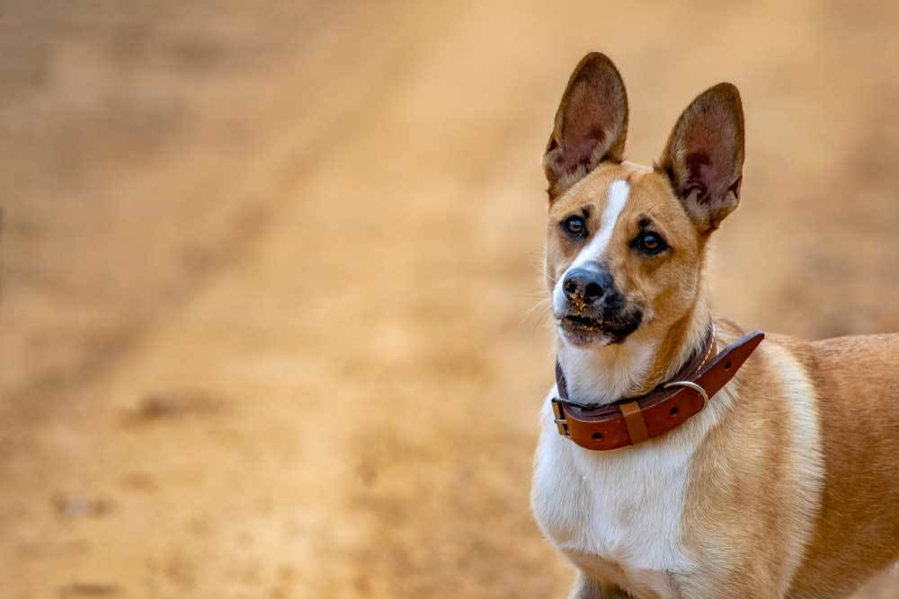 Brown and white dog with ears perked standing on a dirt road