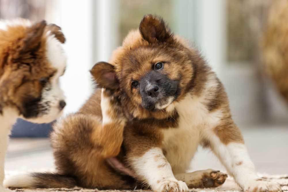 furry puppy scratching