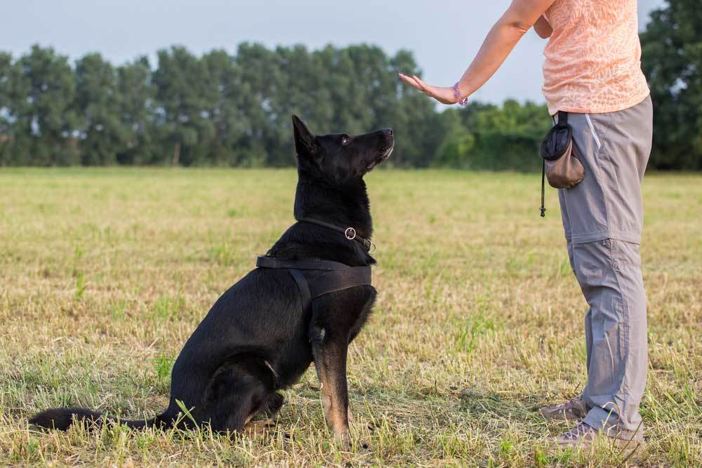 Black dog sitting on command in grassy field with person with hand extended signing for them to stay