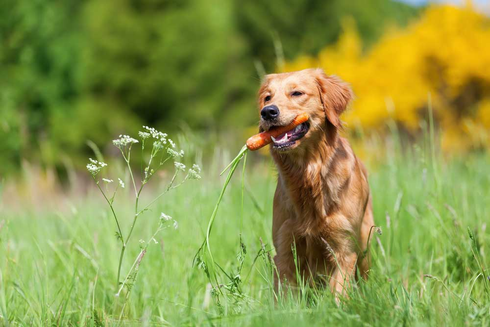 golden retriever with carrot in mouth standing in tall grass and weeds