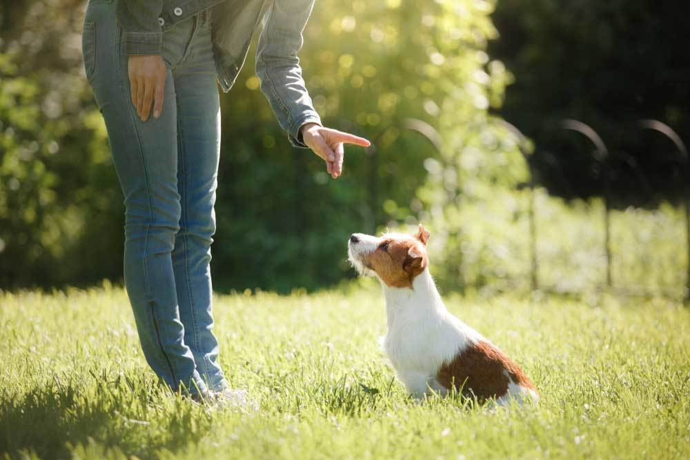 lower half of person's body with hand extended to Jack russell terrier as if commanding no.