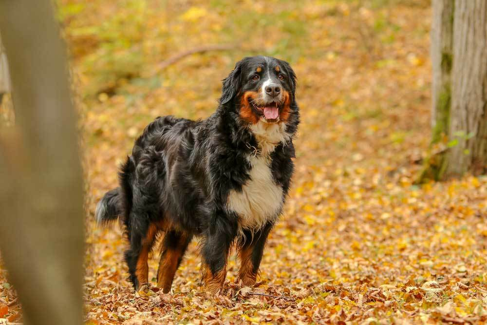 Bernese Mountain Dog standing on leaf covered trail