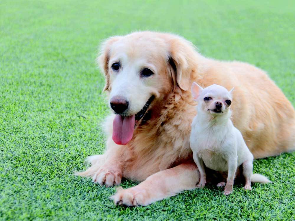 Large dog laying in grass with small dog