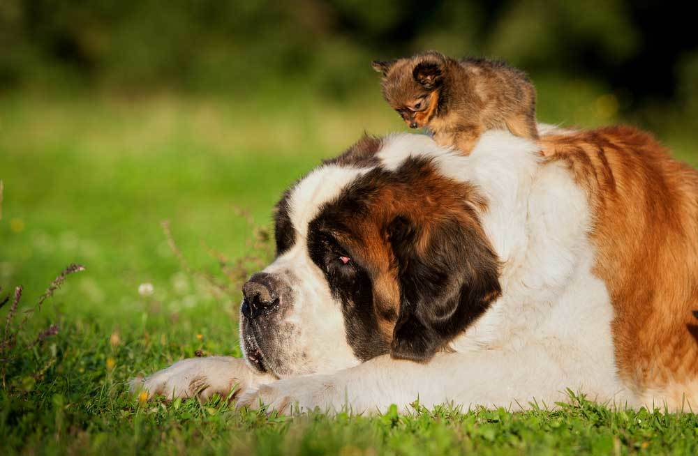 St bernard laying in grass with small puppy standing on it's back.