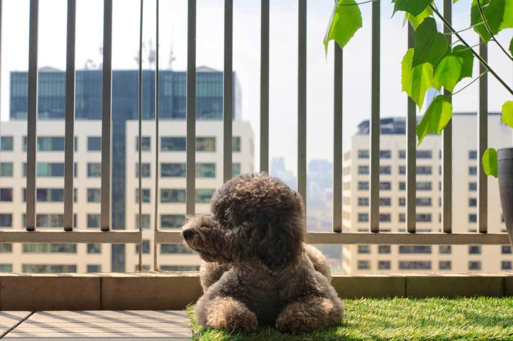 Poodle on high rise balcony sitting on a patch of grass
