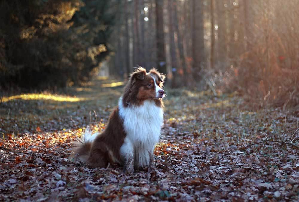 Australian Shepherd sitting on leaf covered trail