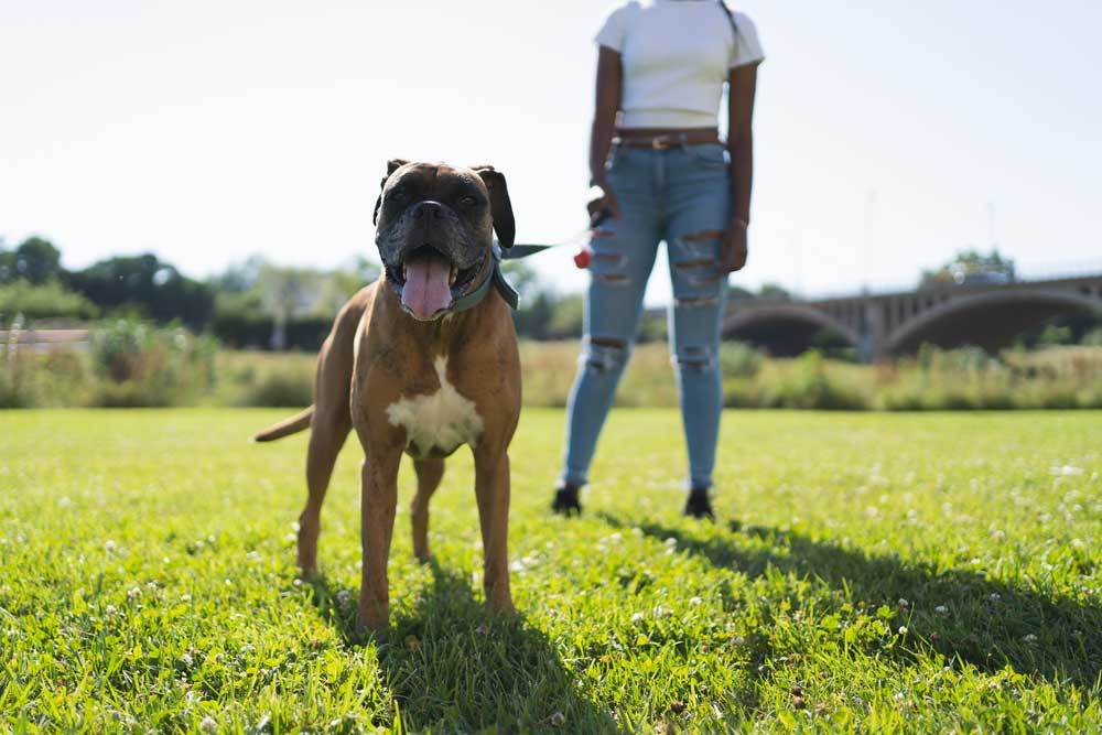 Boxer dog standing in field guarding person standing behind them