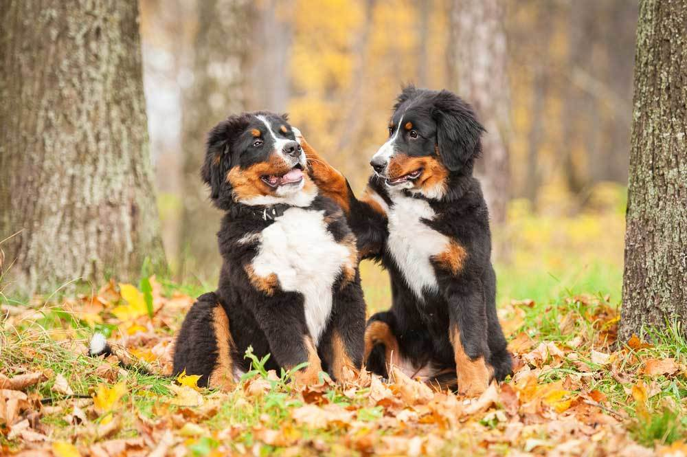 2 Bernese Mountain Dogs playing in autumn leaves under trees