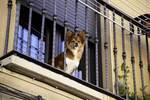 Corgi with head poking through balcony bars