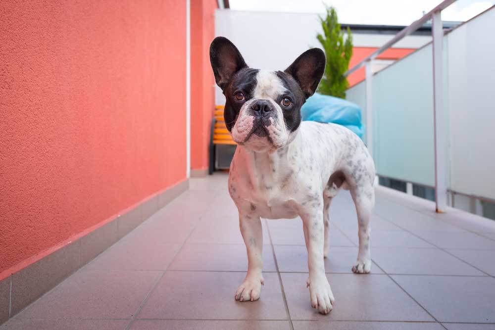 Boston Terrier on a balcony with pink walls