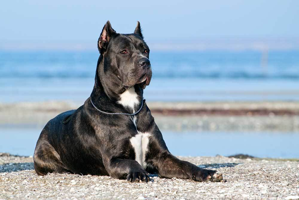 Black and white Cane Corso laying on a beach