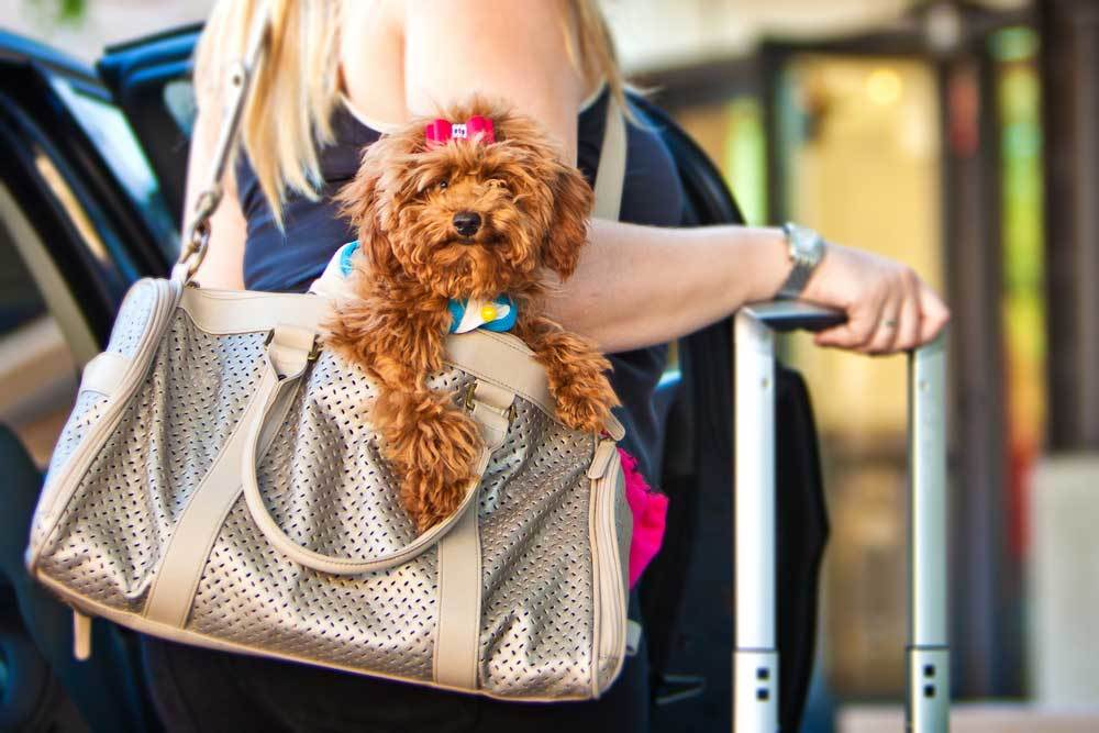 fuzzy terrier in a purse on womans shoulder