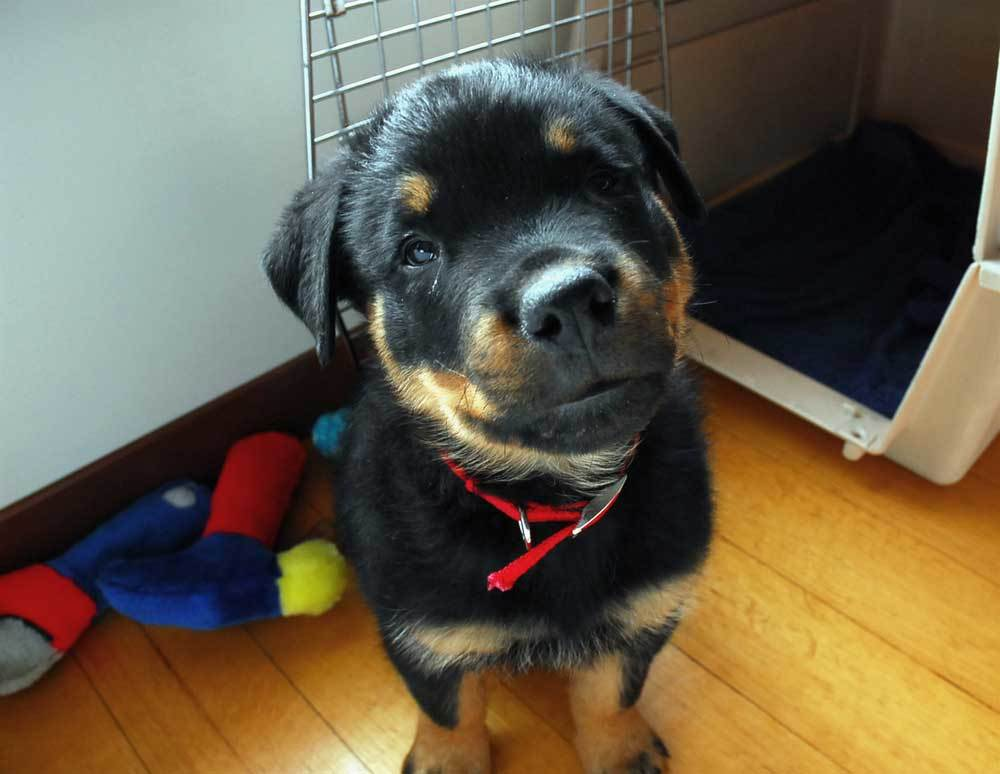 Rottweiler puppy sitting outside puppy crate