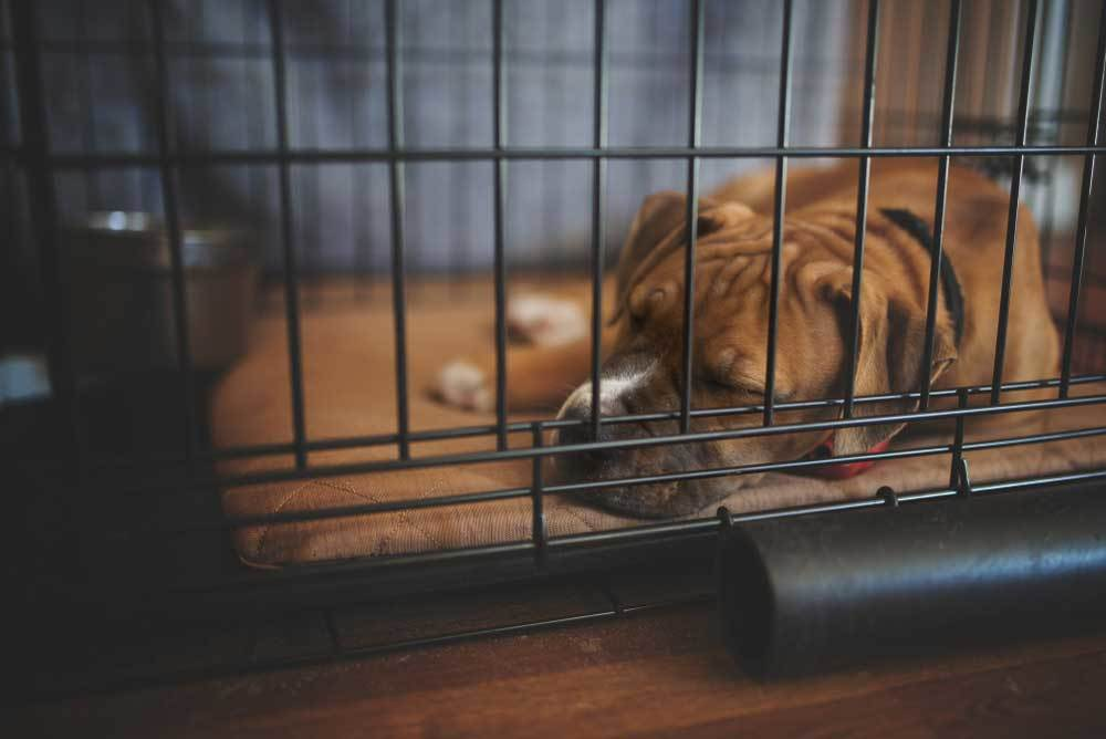 Boxer puppy sleeping in large metal crate