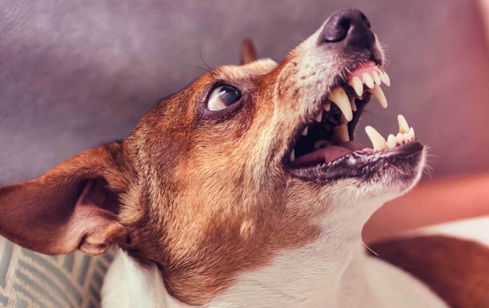 close up of Jack Russell Terrier growling