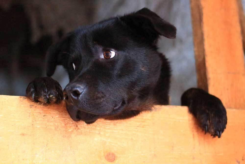 black dog peeling over wooden barrier