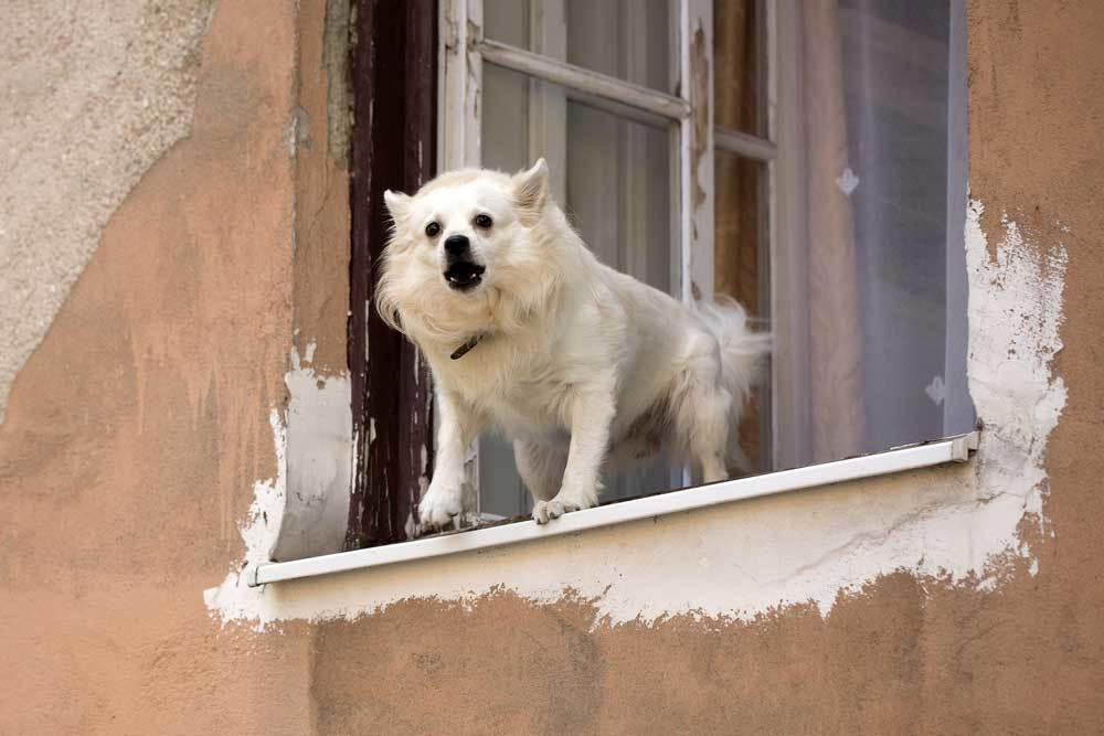small white dog barking from a window