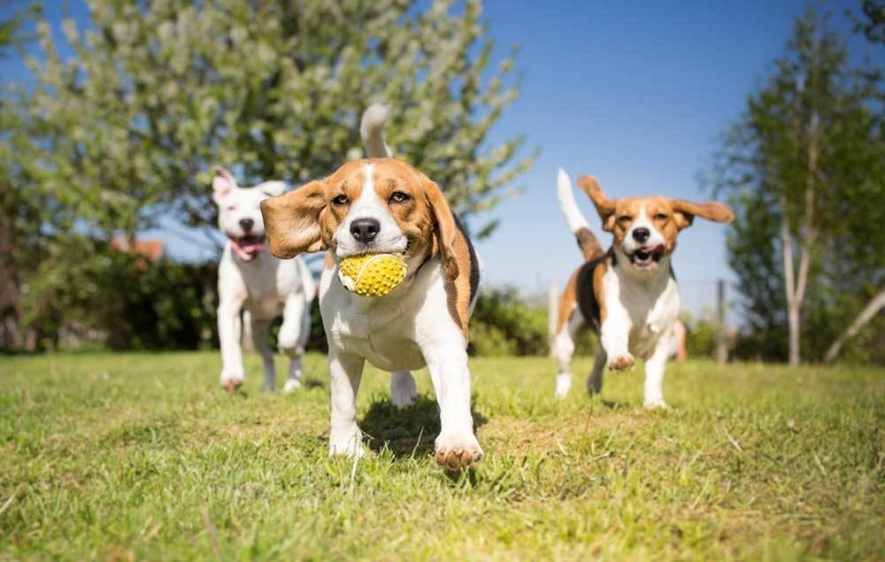 3 beagles playing in a grassy field